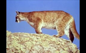 Yellowstone National Park:  Mountain Lions