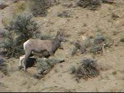 Yellowstone National Park: Bighorn Sheep