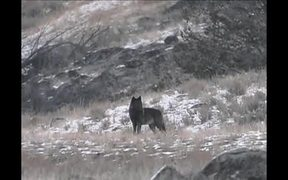 Yellowstone National Park: Coyote or Wolf?