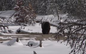 Yellowstone National Park: Spring Bears