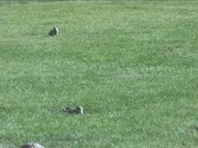 Yellowstone National Park: Uinta Ground Squirrel