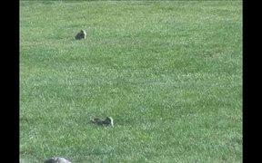 Yellowstone National Park: Uinta Ground Squirrel