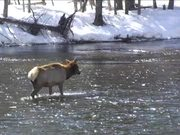 Yellowstone National Park: Winter Wildlife Viewing