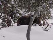 Yellowstone National Park: Spring Bears