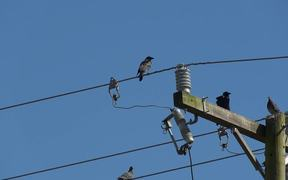 Birds on  Electric Wires