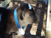 Calf Baby Cow