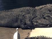 Alligators Sunning