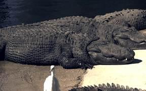 Alligators Sunning