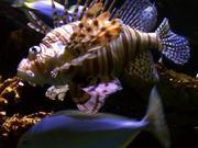 Lionfish Fish Ocean