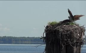 Osprey Birds Nest