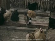 Andes Commercial: Wine Laying Hen