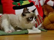 Celebrity Cats: Hard To Be a Cat at Christmas
