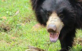 Indian Sloth Bear
