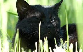 Black Cat in Grass
