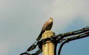 Singing Dove