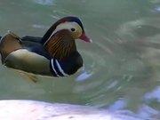 Multi Color Duck