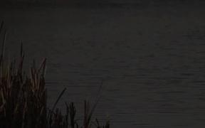 Black Necked Stilt Bird