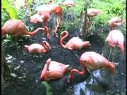 Sarasota Jungle Gardens Pink Flamingo
