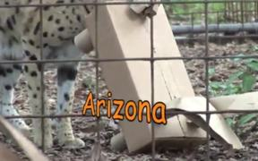 BIG CATS ATTACK!-Cardboard Carnage!