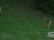 Slow Motion of 2 Young Whitetail Deer Running