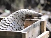 Honey Badger Narrates Viral Video: The Pangolin