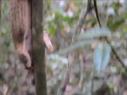 Honey Badger Narrates Viral Video: The Pangolin