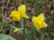 Yellow Narcissus in the Wind
