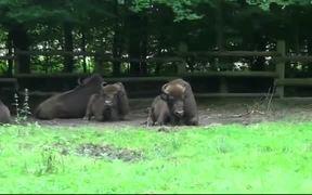 Buffalo Bison