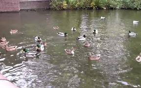 Ducks Swimming on the Lake
