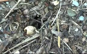 Ants Carpenter Ant