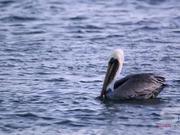 Slow Motion Shot of Pelicans Floating in the Ocean