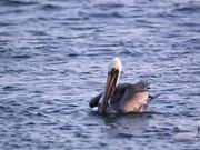 Slow Motion Shot of Pelicans Floating in the Ocean