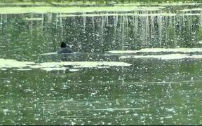 Duck battle