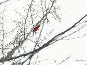 Static Shot of a Cardinal Chirping in a Tree