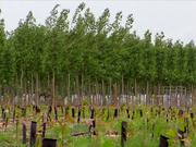 Poplar Trees for Cellulosic Ethanol B-Roll