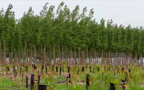 Poplar Trees for Cellulosic Ethanol B-Roll