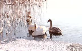 Swans Swim