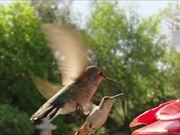 Hummingbird Slow Motion