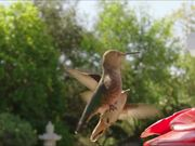 Hummingbird Slow Motion