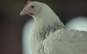 Samsonite Campaign: Chicken