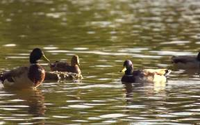 Beautiful Ducks in Slow Motion
