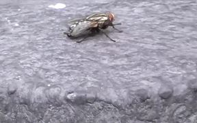 Fly Cleaning Itself in Macro