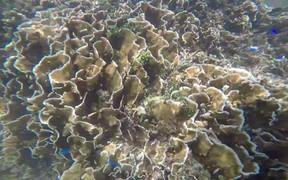 Small Blue Fishes and their Big Coral