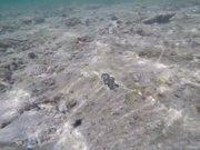 Blue Clam Found in Ishigaki Island