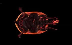 CT Movie of Red-eared Slider