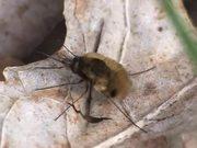 Bee Flies and Rubs it Forelegs in Macro