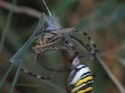 Female Wasp Spider vs Grasshopper