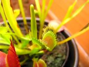 Venus Flytrap vs Beetles in Macro