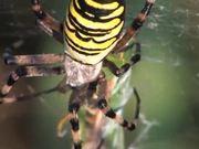 Female Wasp Spider vs Grasshopper