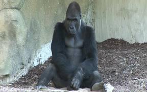 Gorilla I